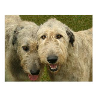 Irish Wolfhounds Postcard
