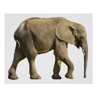 Isolated African elephant Poster