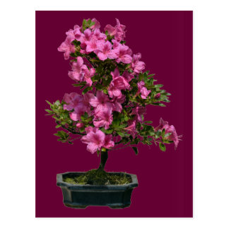 Isolated bonsai rhododendron blooming postcard