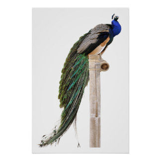 Isolated Indian Peafowl on perch Poster