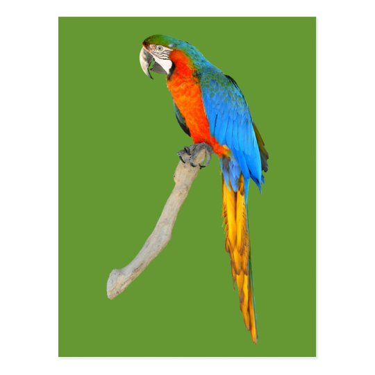 Isolated Scarlet macaw Postcard