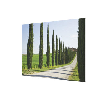 Italy, Tuscany. Cypress trees line driveway to Canvas Prints