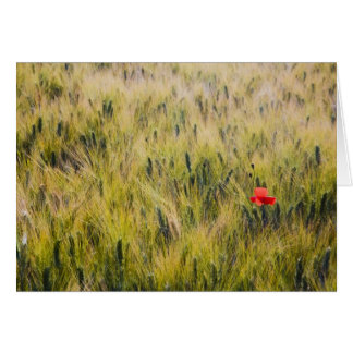 Italy, Tuscany, Lone poppy in Spring Wheat Card