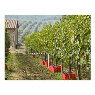 Italy, Tuscany, Montalcino. Bins of harvested Postcard