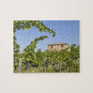 Italy, Tuscany, Montepulciano. Wine grapes ready Jigsaw Puzzle