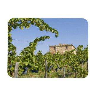 Italy, Tuscany, Montepulciano. Wine grapes ready Magnet