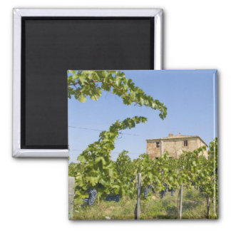 Italy, Tuscany, Montepulciano. Wine grapes ready Square Magnet