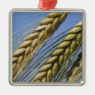 Italy, Tuscany, Val d'Orcia, Three ears of Silver-Colored Square Ornament