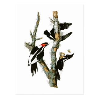 Ivory-billed Woodpecker Audubon Birds of America Postcard