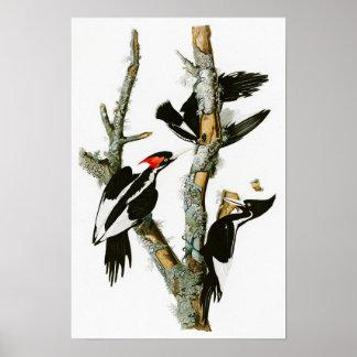 Ivory-billed Woodpecker Audubon Birds of America Poster