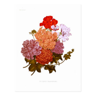 Ivy-leaved Pelargoniums Postcard