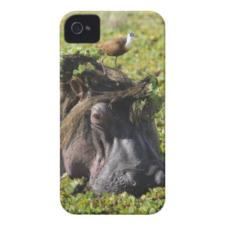 Jacana standing on hippo's (Hippopotamus iPhone 4 Case