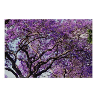 Jacaranda tree in spring bloom flowers poster