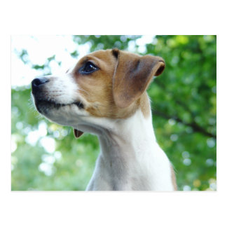 Jack Russell Dog Postcard