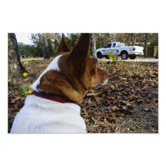 Jack Russell Photograph