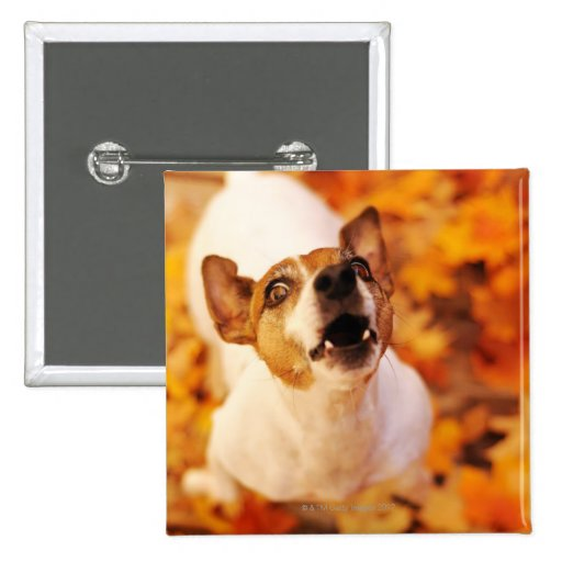 Jack Russell Terrier barking and jumping, Autumn Pinback Button