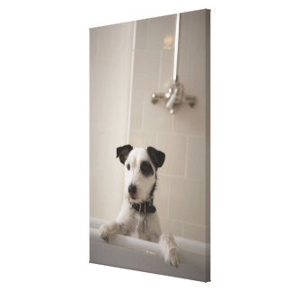 Jack russell terrier. canvas print