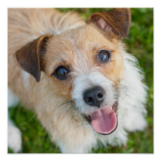 Jack Russell terrier photo poster print