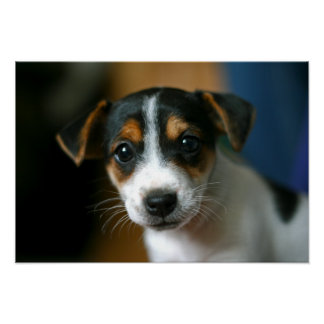 Jack Russell Terrier Puppy Poster