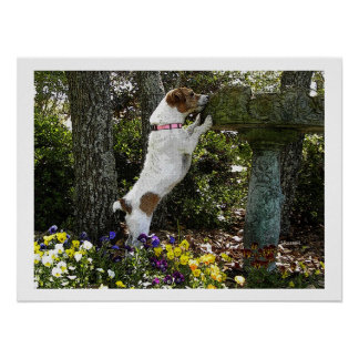 JACK RUSSELL TERRIOR POSTER