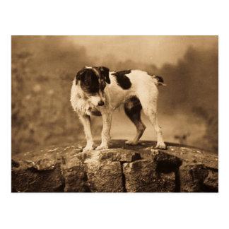 Jack the Vintage Jack Russell Terrier Postcard