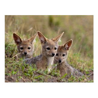 Jackal Pups Postcard