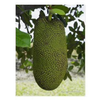 Jackfruit hanging from tree postcard