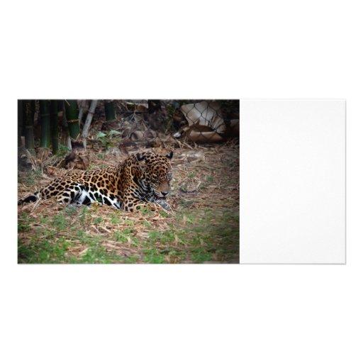 jaguar big cat licking paws cool animal photo photo card template