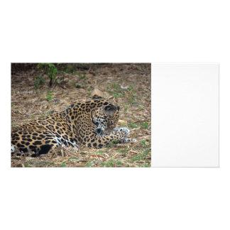 jaguar cleaning leg animal photo image photo card