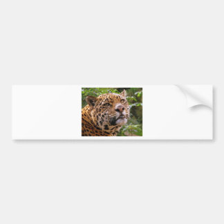Jaguar Inquisitive Bumper Sticker