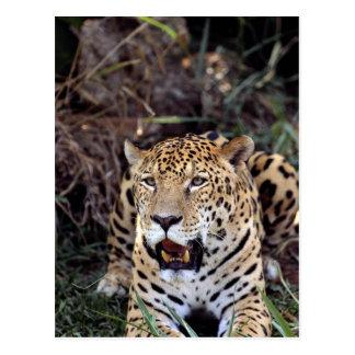 Jaguar (Panthera onca) Postcard