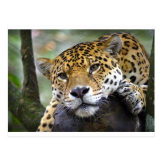 Jaguar relaxing in tree postcard
