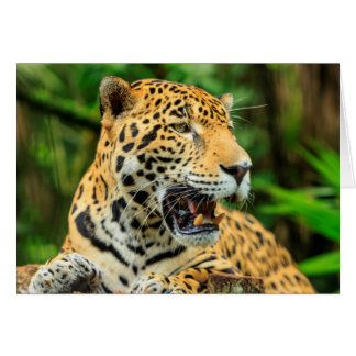 Jaguar shows its teeth, Belize Card