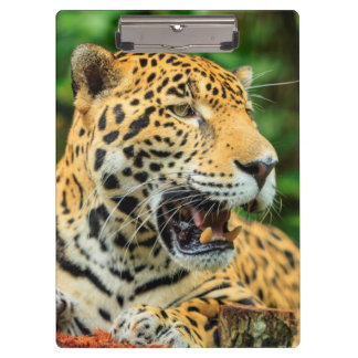 Jaguar shows its teeth, Belize Clipboard
