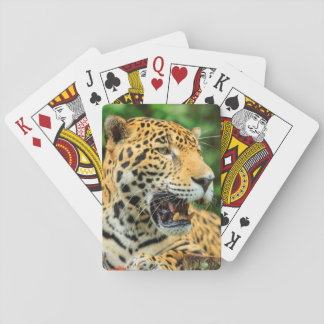 Jaguar shows its teeth, Belize Playing Cards