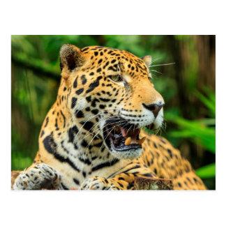 Jaguar shows its teeth, Belize Postcard
