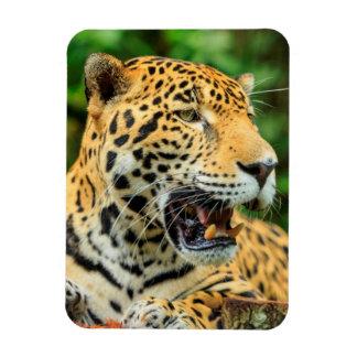 Jaguar shows its teeth, Belize Rectangular Photo Magnet
