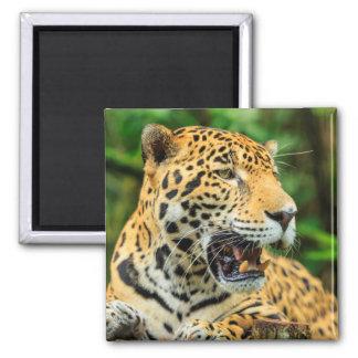 Jaguar shows its teeth, Belize Square Magnet