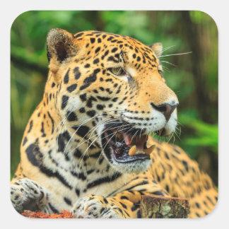 Jaguar shows its teeth, Belize Square Sticker