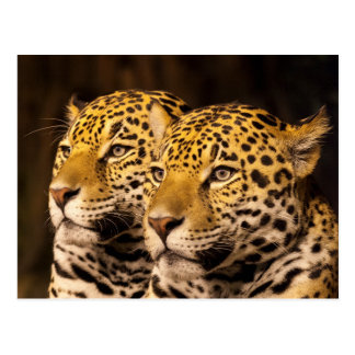 Jaguars at the Milwaukee Zoo - No Front Text Postcard