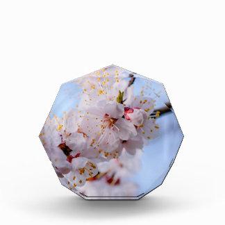 Japanese Apricot Blossom
