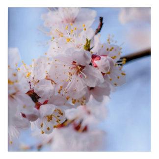 Japanese Apricot Blossom Acrylic Print