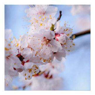 Japanese Apricot Blossom Art Photo