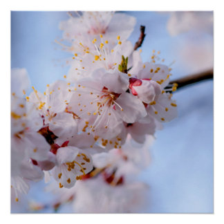 Japanese Apricot Blossom Perfect Poster