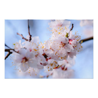 Japanese Apricot Blossom Photo