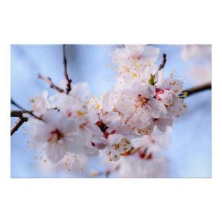 Japanese Apricot Blossom Photo Print