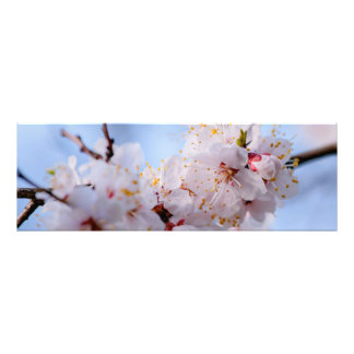 Japanese Apricot Blossom Photographic Print