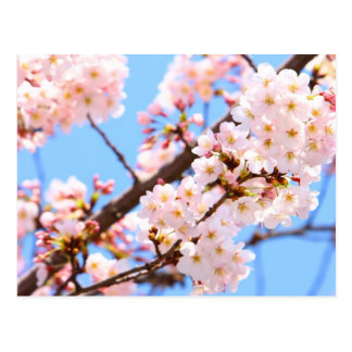 Japanese Cherry Blossoms Postcard