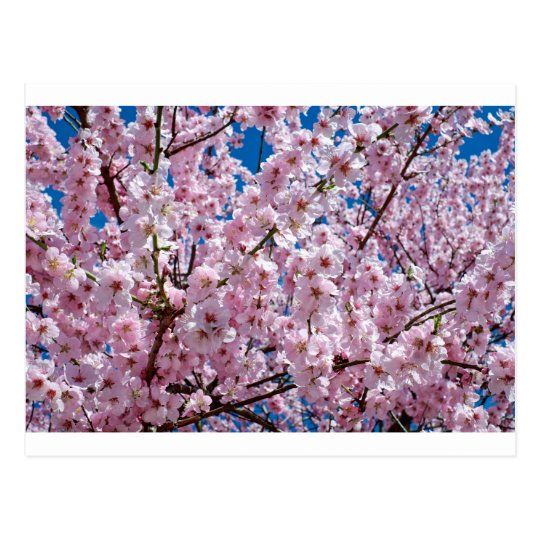 Japanese cherry Flower Postcard