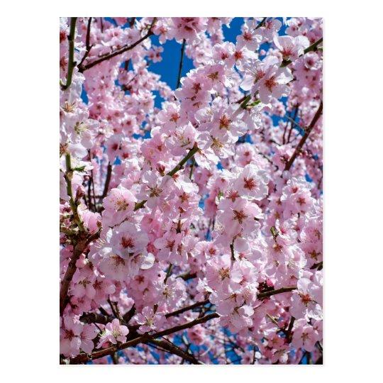 Japanese cherry Flower Postcard